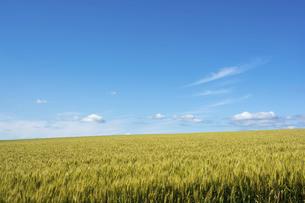 初夏のムギ畑の写真素材 [FYI04848747]