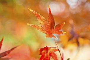 紅葉の楓の写真素材 [FYI04848809]