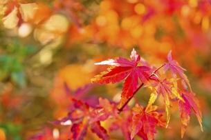 紅葉の楓の写真素材 [FYI04848810]