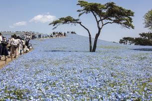 国営ひたち海浜公園「みはらしの丘」の満開のネモフィラの写真素材 [FYI04848886]