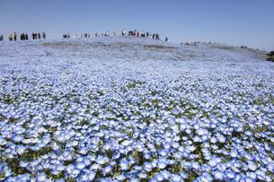 国営ひたち海浜公園「みはらしの丘」の満開のネモフィラの写真素材 [FYI04848896]