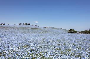 国営ひたち海浜公園「みはらしの丘」の満開のネモフィラの写真素材 [FYI04848900]