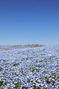 国営ひたち海浜公園「みはらしの丘」の満開のネモフィラの写真素材 [FYI04848902]