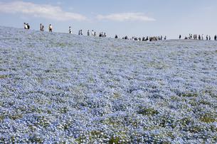 国営ひたち海浜公園「みはらしの丘」の満開のネモフィラの写真素材 [FYI04848908]