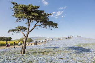 国営ひたち海浜公園「みはらしの里」に咲くナノハナと「みはらしの丘」に咲くネモフィラの写真素材 [FYI04848912]