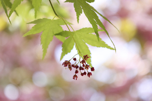 楓の花とその葉の写真素材 [FYI04849024]