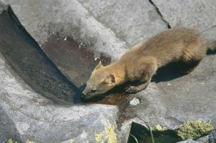 水を飲むエゾクロテン(北海道・鹿追町)の写真素材 [FYI04849067]