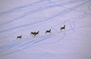 雪原を走るエゾシカの群(北海道・標茶町)の写真素材 [FYI04849072]