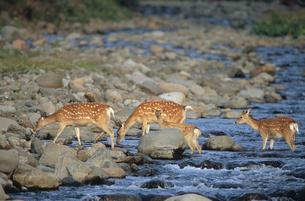 川を渡るエゾシカの親子(北海道・知床)の写真素材 [FYI04849073]