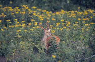 花畑とエゾシカの雄(北海道・知床)の写真素材 [FYI04849081]
