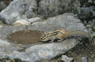 水を飲むエゾシマリス(北海道・鹿追町)の写真素材 [FYI04849088]