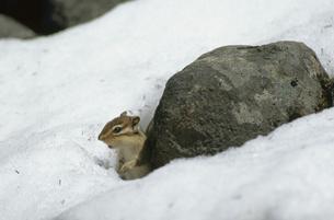 雪の中に顔を出すエゾシマリス(北海道・鹿追町)の写真素材 [FYI04849097]