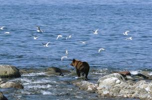 カモメの群とヒグマ(北海道・知床)の写真素材 [FYI04849101]