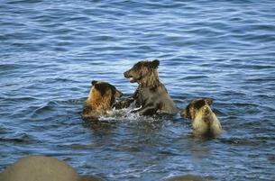 海の中で争うヒグマの兄弟(北海道・知床)の写真素材 [FYI04849105]