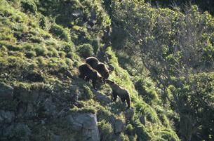 崖で遊ぶヒグマの兄弟(北海道・知床)の写真素材 [FYI04849108]