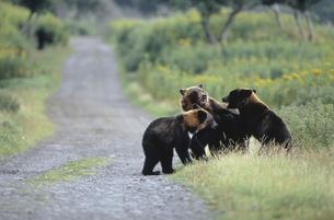 林道で遊ぶヒグマの兄弟(北海道・知床)の写真素材 [FYI04849111]
