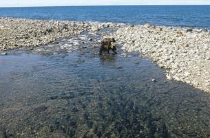 河口に群れるカラフトマスとヒグマ(北海道・知床)の写真素材 [FYI04849115]