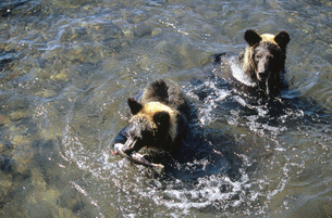 サケを食べるヒグマの兄弟(北海道・知床)の写真素材 [FYI04849116]