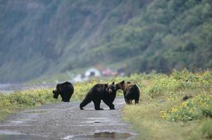 林道で遊ぶヒグマの兄弟(北海道・知床)の写真素材 [FYI04849118]