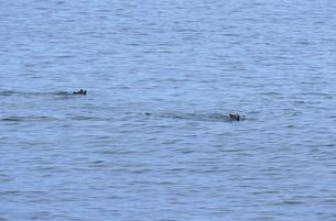 海を泳ぐヒグマの兄弟(北海道・知床)の写真素材 [FYI04849120]