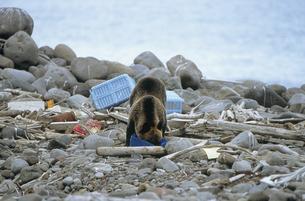 海岸のゴミをあさるヒグマ(北海道・知床)の写真素材 [FYI04849121]