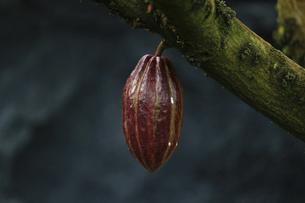 大きく赤く成熟したカカオの実の写真素材 [FYI04849217]