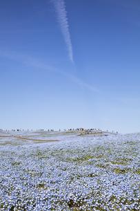 国営ひたち海浜公園「みはらしの丘」の満開のネモフィラの写真素材 [FYI04849252]