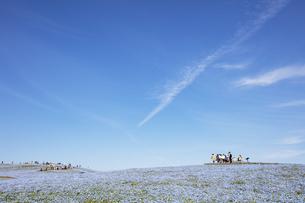 国営ひたち海浜公園「みはらしの丘」の満開のネモフィラの写真素材 [FYI04849258]