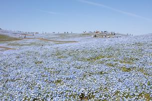 国営ひたち海浜公園「みはらしの丘」の満開のネモフィラの写真素材 [FYI04849303]