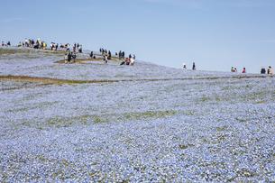 国営ひたち海浜公園「みはらしの丘」の満開のネモフィラの写真素材 [FYI04849311]