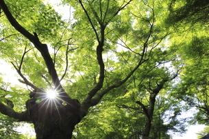 逆光で鮮やかな色を見せる新緑の紅葉の葉の写真素材 [FYI04849425]