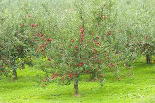 赤く実ったリンゴの写真素材 [FYI04849509]