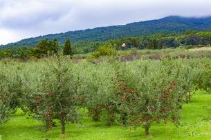 赤く実ったリンゴの写真素材 [FYI04849510]