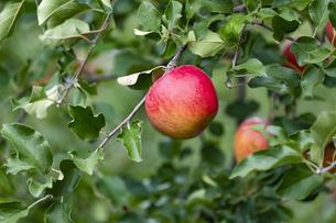 赤く実ったリンゴの写真素材 [FYI04849511]