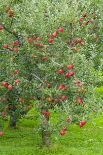 赤く実ったリンゴの写真素材 [FYI04849512]