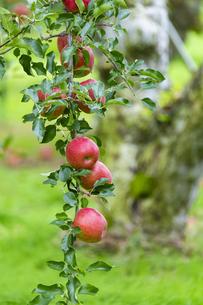 赤く実ったリンゴの写真素材 [FYI04849513]