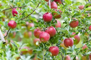 赤く実ったリンゴの写真素材 [FYI04849514]