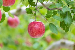 赤く実ったリンゴの写真素材 [FYI04849515]