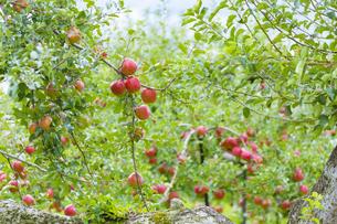 赤く実ったリンゴの写真素材 [FYI04849516]