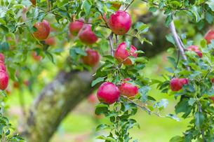 赤く実ったリンゴの写真素材 [FYI04849517]