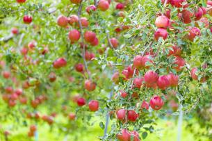 赤く実ったリンゴの写真素材 [FYI04849518]