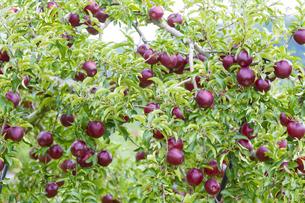 赤く実ったリンゴの写真素材 [FYI04849519]
