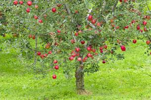 赤く実ったリンゴの写真素材 [FYI04849520]
