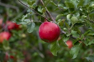 赤く実ったリンゴの写真素材 [FYI04849521]