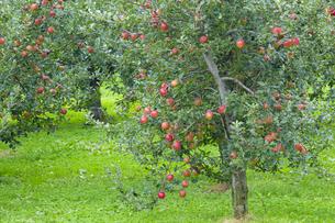 赤く実ったリンゴの写真素材 [FYI04849522]