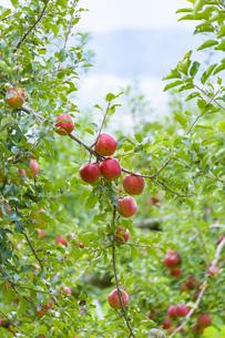 赤く実ったリンゴの写真素材 [FYI04849524]