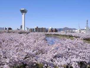 五稜郭タワーと桜の写真素材 [FYI04849657]