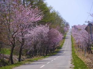 中札内村の桜の写真素材 [FYI04849670]