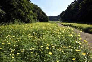 くりはま花の国のコスモスの写真素材 [FYI04849712]