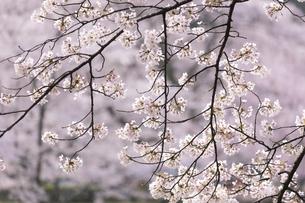 満開のソメイヨシノ(奈良県下北山村、スポーツ公園)の写真素材 [FYI04850128]